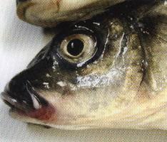 适合草鱼鲤鱼的水温是多少_鲤鱼的水温_鲤鱼水温多少开口